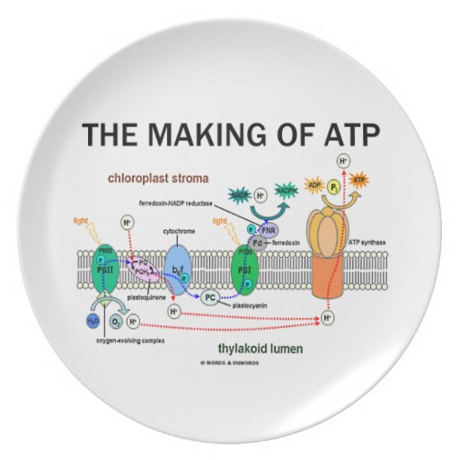 The Making Of ATP (Photosynthetic Attitude) Dinner Plates