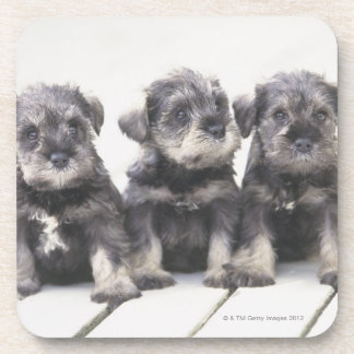 The Miniature Schnauzer is a breed of small dog Beverage Coaster