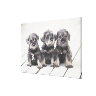 The Miniature Schnauzer is a breed of small dog Canvas Print