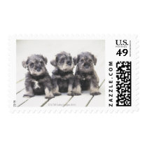 The Miniature Schnauzer is a breed of small dog Postage