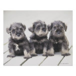The Miniature Schnauzer is a breed of small dog Print