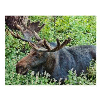 The Moose Post Card