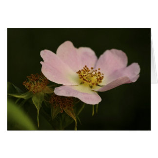 The Morning Flower - Floral Wild Rose With DOF - A Card