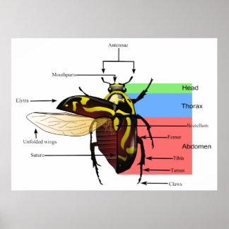 The Morphology of a Fiddler Beetle Diagram Poster