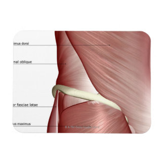 The muscles of the lower body rectangle magnets