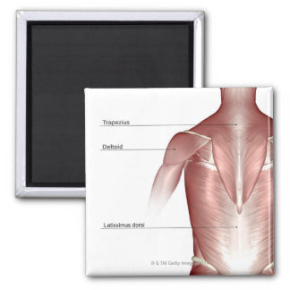 The muscles of the upper body 2 inch square magnet