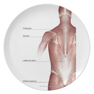 The muscles of the upper body melamine plate
