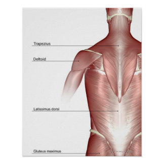 The muscles of the upper body print