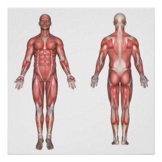 Muscular    System Posters   Zazzle