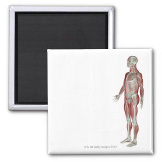 The Musculoskeletal System 11 Magnet