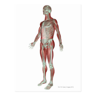 The Musculoskeletal System 3 Postcard