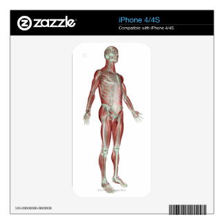 The Musculoskeletal System 8 Decal For The iPhone 4