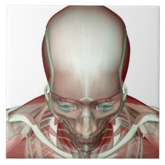 The Musculoskeletan of the Head and Neck 2 Tile