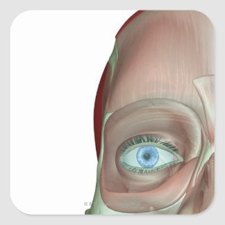 The Musculoskeleton of the Face Square Sticker