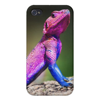 The Mwanza Flat-headed Agama on rock Cases For iPhone 4