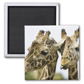 The name giraffe is derived from the Arab word 2 Inch Square Magnet