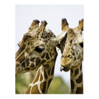 The name giraffe is derived from the Arab word Postcard