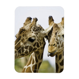 The name giraffe is derived from the Arab word Rectangular Photo Magnet