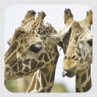 The name giraffe is derived from the Arab word Square Sticker