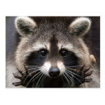 The North American Raccoon Postcard