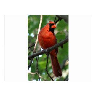 The Northern Cardinal Postcard
