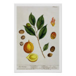The Nutmeg, plate 353 from 'A Curious Herbal', pub Print