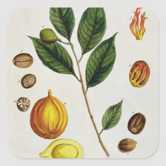 The Nutmeg, plate 353 from 'A Curious Herbal', pub Square Sticker