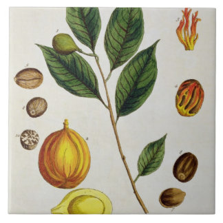 The Nutmeg, plate 353 from 'A Curious Herbal', pub Large Square Tile