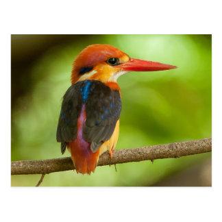 The Oriental Dwarf Kingfisher Postcard