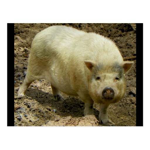 The PET ME Pig @ Bearizona Postcard