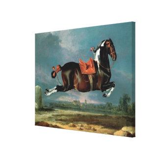 The piebald horse 'Cehero' rearing Canvas Print