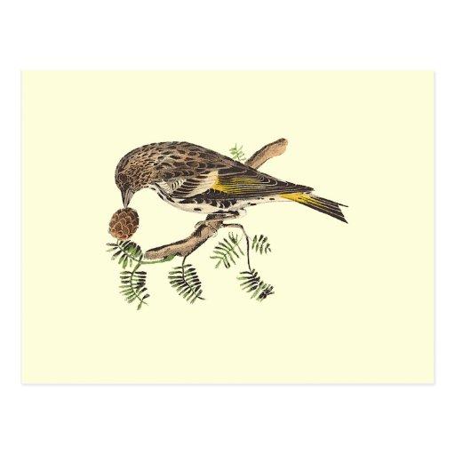 The Pine Finch(Carduelis pinus) Postcard