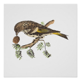 The Pine Finch	 Carduelis pinus Print