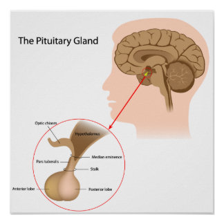 The pituitary gland Poster