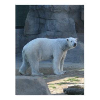 The polar bear post card