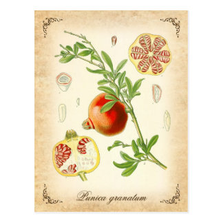 The pomegranate - vintage illustration postcard