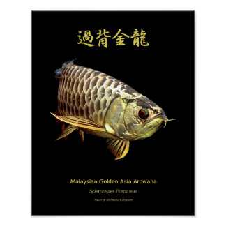 "The poster of Asian Arowana ""Golden Type"""