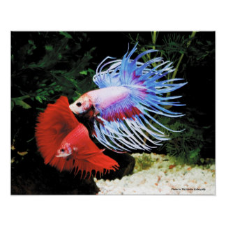 The poster of Betta