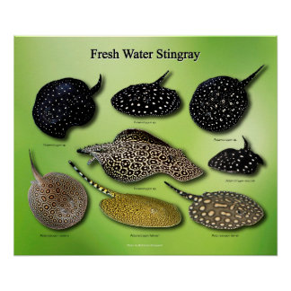 The poster of FRESH Water Stingray