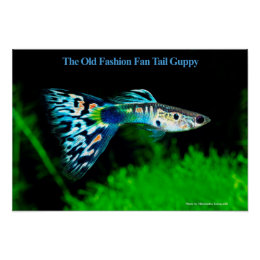 The poster of The Old Fashion Fan Tail Guppy