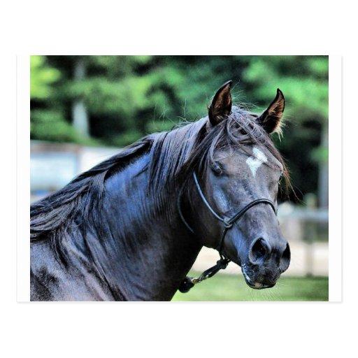 The Proud Arabian Stallion Postcard