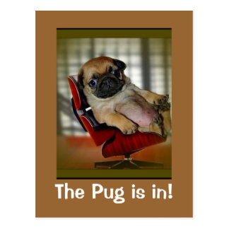 The Pug is in! Postcard