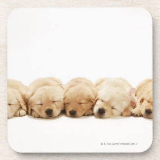 The puppies of the golden retriever beverage coaster