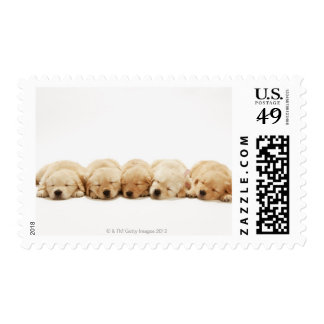 The puppies of the golden retriever postage stamps