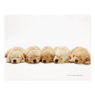 The puppies of the golden retriever postcard