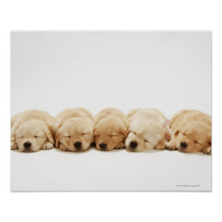 The puppies of the golden retriever poster