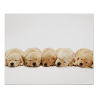 The puppies of the Golden Retriever Posters