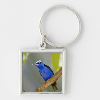 The Purple Honeycreeper, Cyanerpes caeruleus, is Keychains