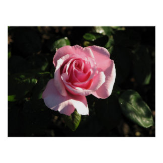 The Queen Alexandria Hybrid Tea Rose 022 Poster