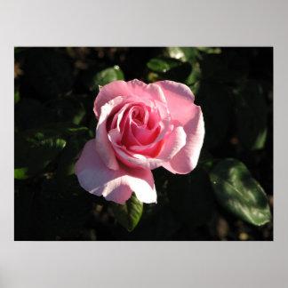 The Queen Alexandria Hybrid Tea Rose 022 Poster
